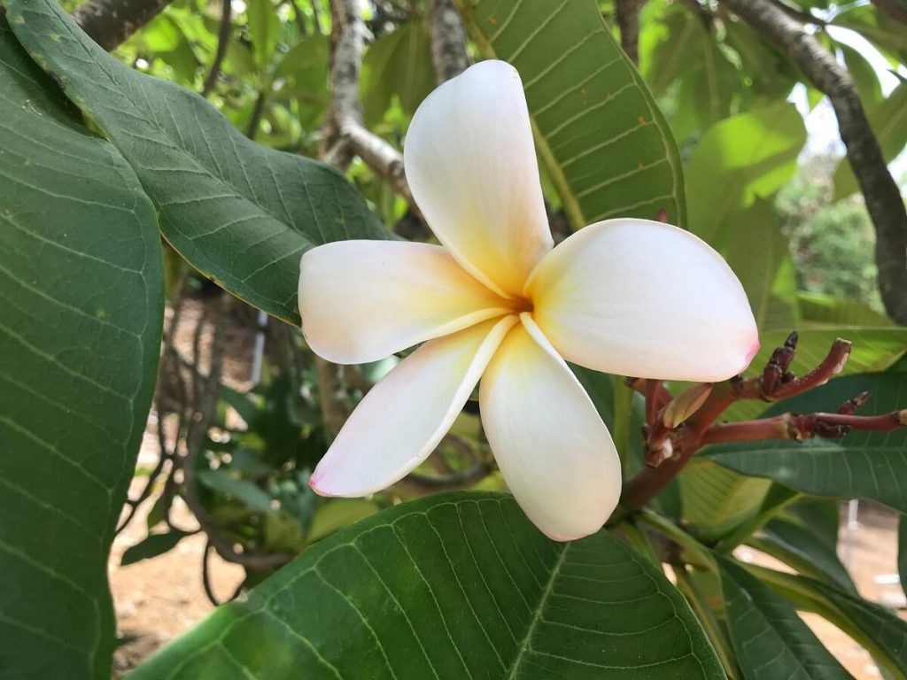 Oahu Itinerary 7 Days: Koko Crater Botanical Garden with closeup of plumeria flower