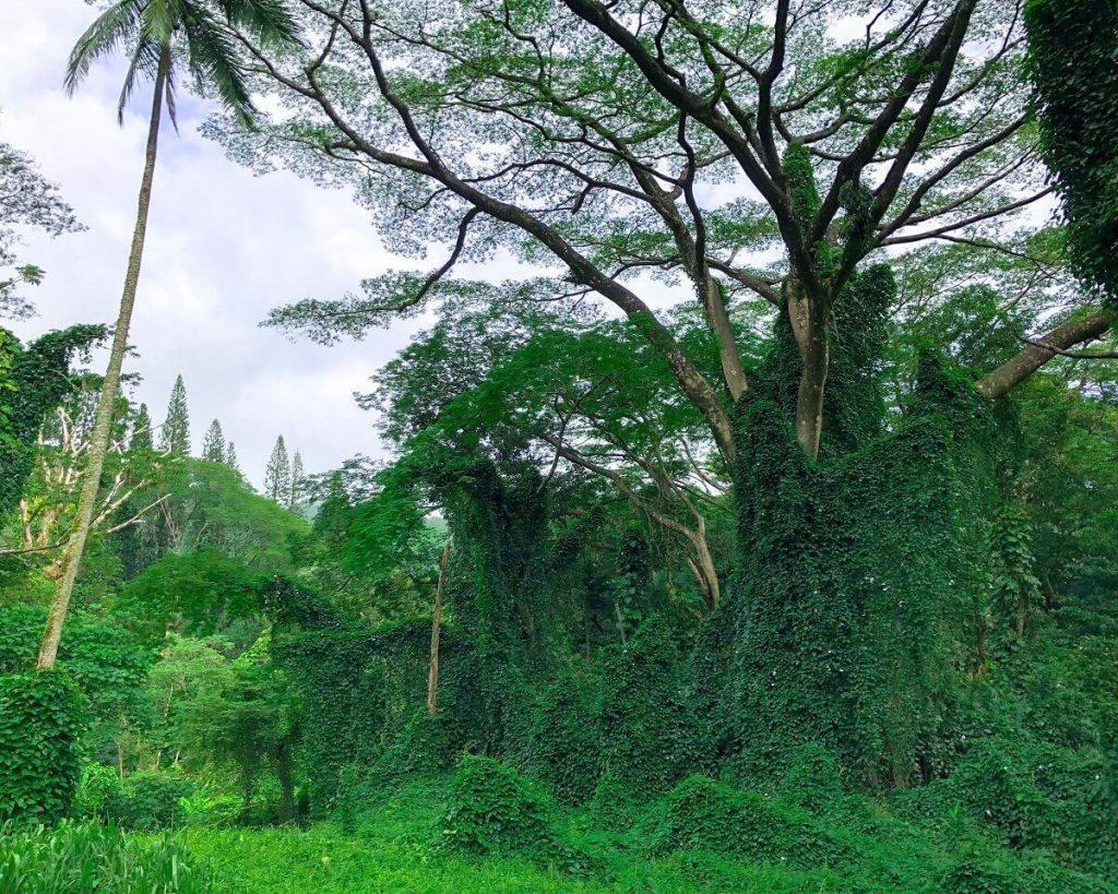 Jungle - like Manoa Falls hike on Oahu  #freetotravelmama | Oahu Hawaii Photography | Oahu Instagram Pictures |  Oahu Instagram Spots | Instagram Worthy Pictures in Oahu | Hawaii Instagram Pictures Oahu | Best Places for photos Oahu | Best Photo Spots Oahu
